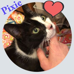 Pixie is an incredibly sweet affectionate gentle girl who loves to spend time with you purring and