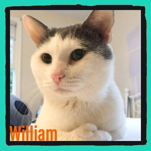 William short for Williamsburg where a kind woman took him in is a healthy and handsome polydactyl