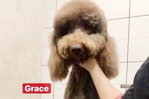 Grace, an adopted Standard Poodle in Valley Village, CA_image-1