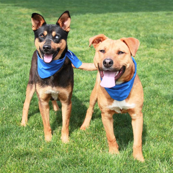 Roscoe & Yogi, an adoptable Shepherd & Pit Bull Terrier Mix in Clovis, CA