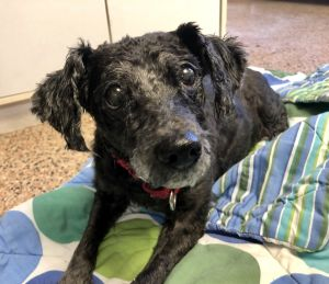 This sweet girl is Tia She is around 15 years old and came to the SPCA because her owner could