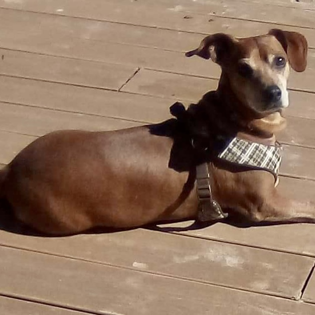 Brownie, an adoptable Dachshund Mix in Bloomington, IL