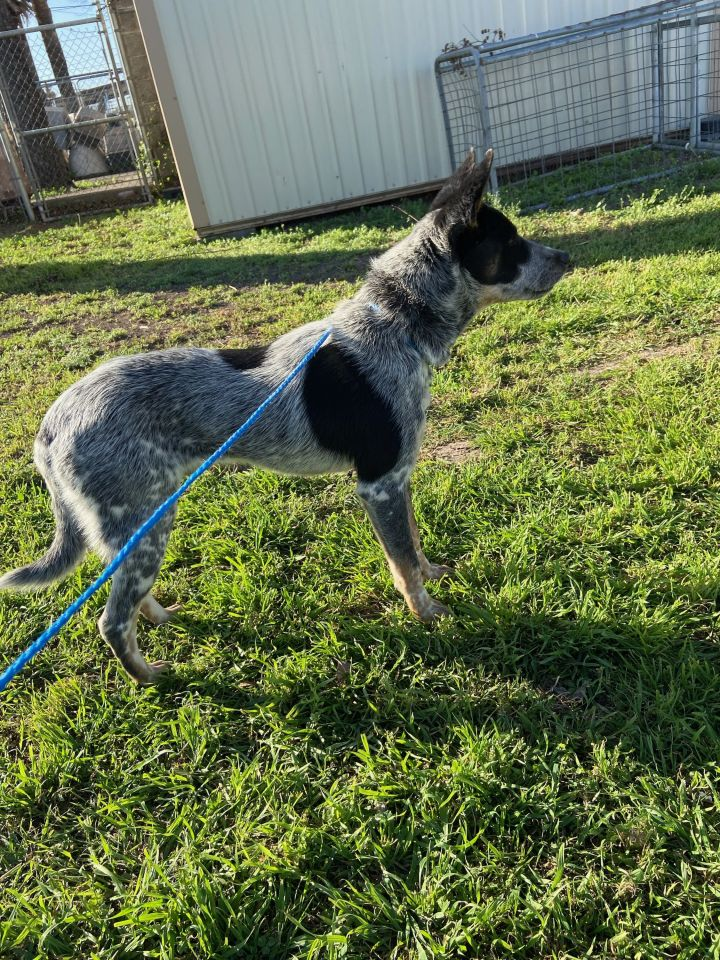 Dexter, an adoptable Australian Cattle Dog / Blue Heeler in Uvalde, TX