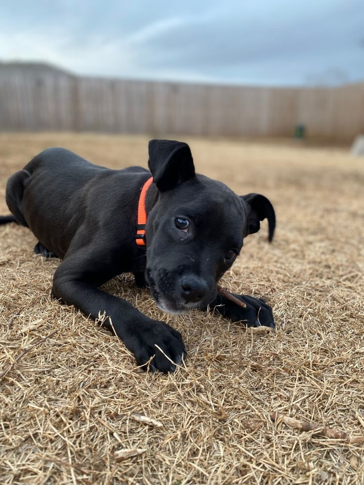 Moe, an adoptable Pit Bull Terrier & Boxer Mix in Oklahoma City, OK