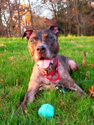 Leaf, an adoptable Pit Bull Terrier Mix in Bloomsburg, PA