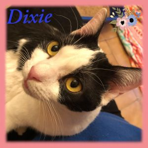DIXIE is an ultimate sweetheart and a complete lap cat who LOVES giving kitty kisses and getting a