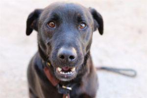 BLACKIE Mixed Breed Dog