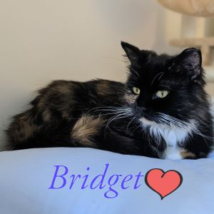 Bridget is a gorgeous long haired calico ALMOST a Tortoise shell but she has white belly and paws