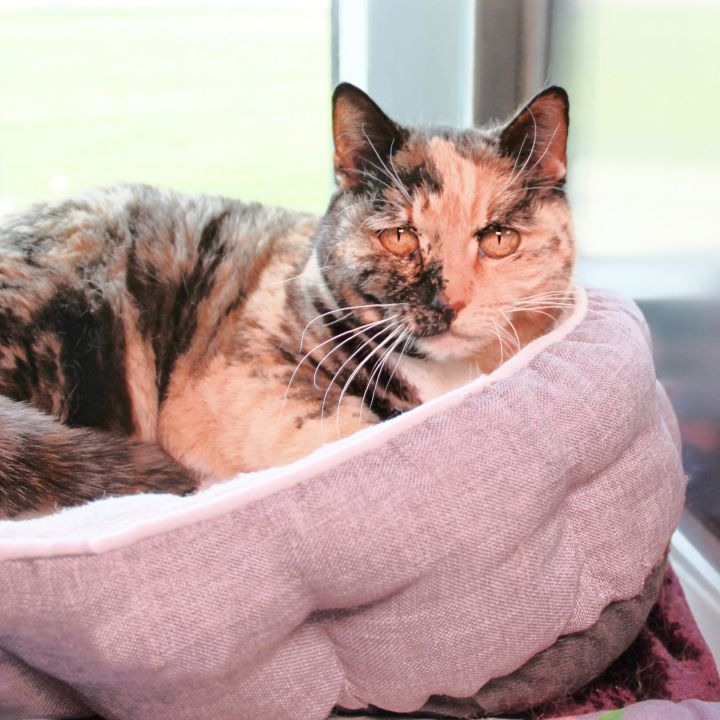 Cammie, an adoptable Domestic Short Hair Mix in Clovis, CA