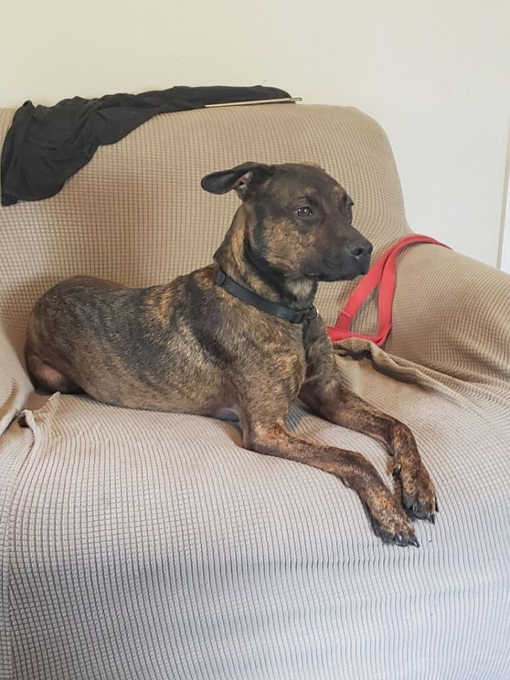 Paisley, an adoptable Boxer Mix in Saint Augustine, FL