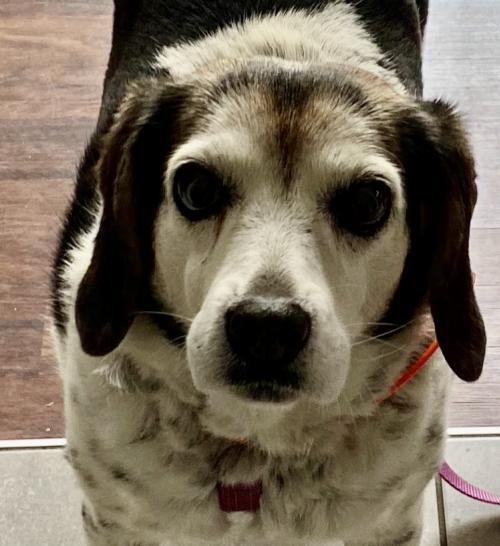 Joy, an adoptable Beagle in Chesapeake, VA_image-1