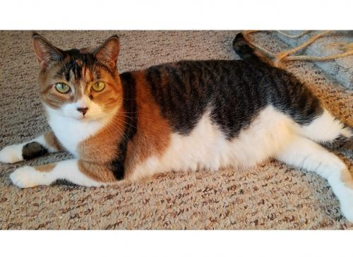 Miss Honey, an adoptable Calico & Tabby Mix in Springfield, OR