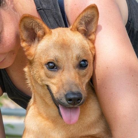 Maengern, an adoptable Shiba Inu Mix in Studio City, CA