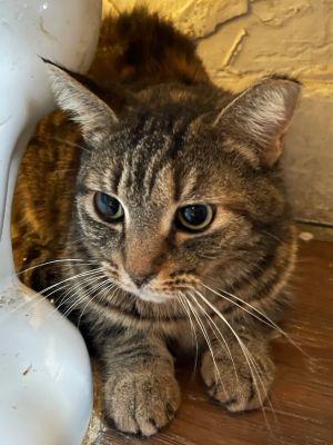 Bobcat Tabby Cat