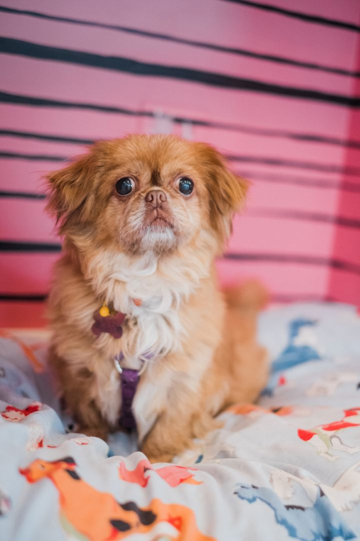 Lady Bug, an adoptable Tibetan Terrier Mix in Palatine, IL_image-1