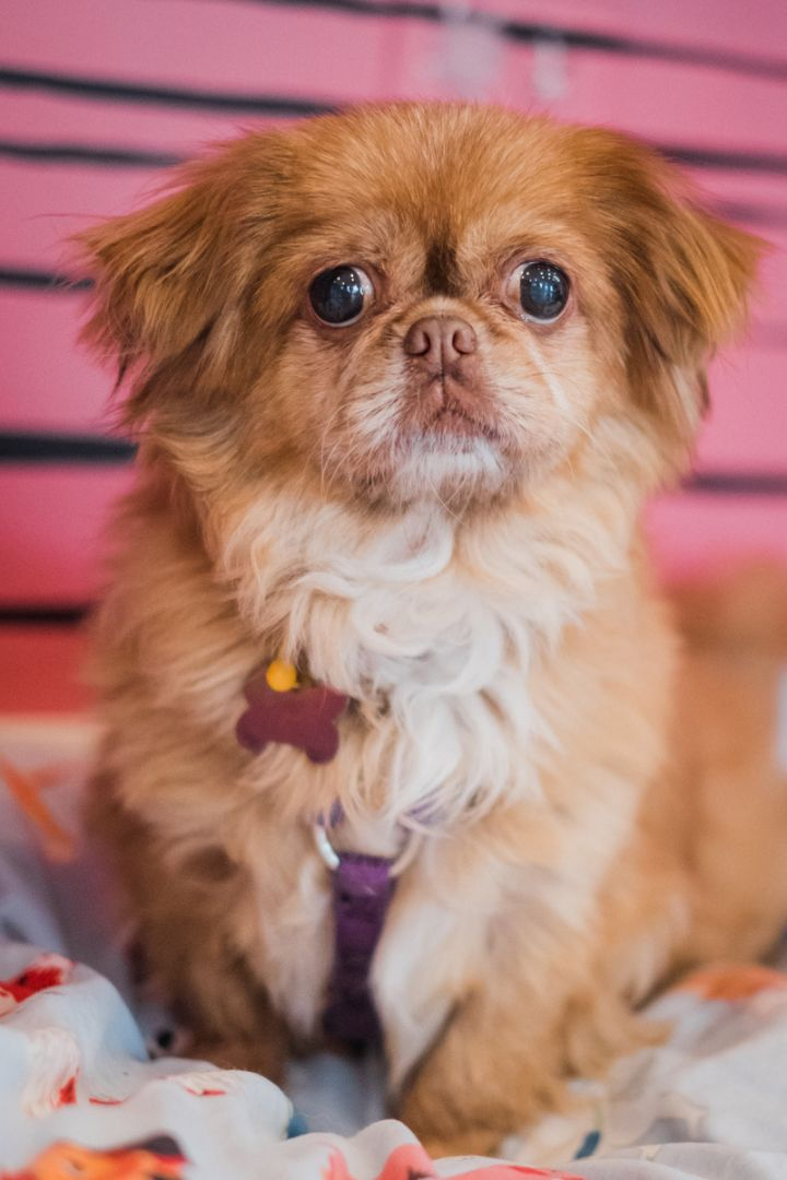 Lady Bug, an adoptable Tibetan Terrier Mix in Palatine, IL_image-5