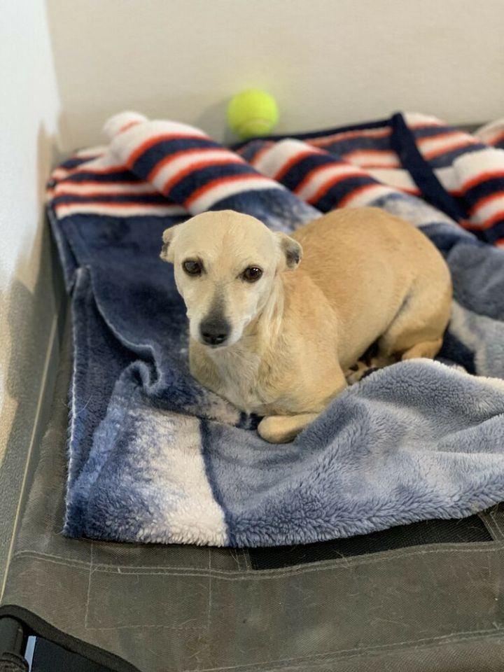 Tolie, an adoptable Chihuahua Mix in Studio City, CA