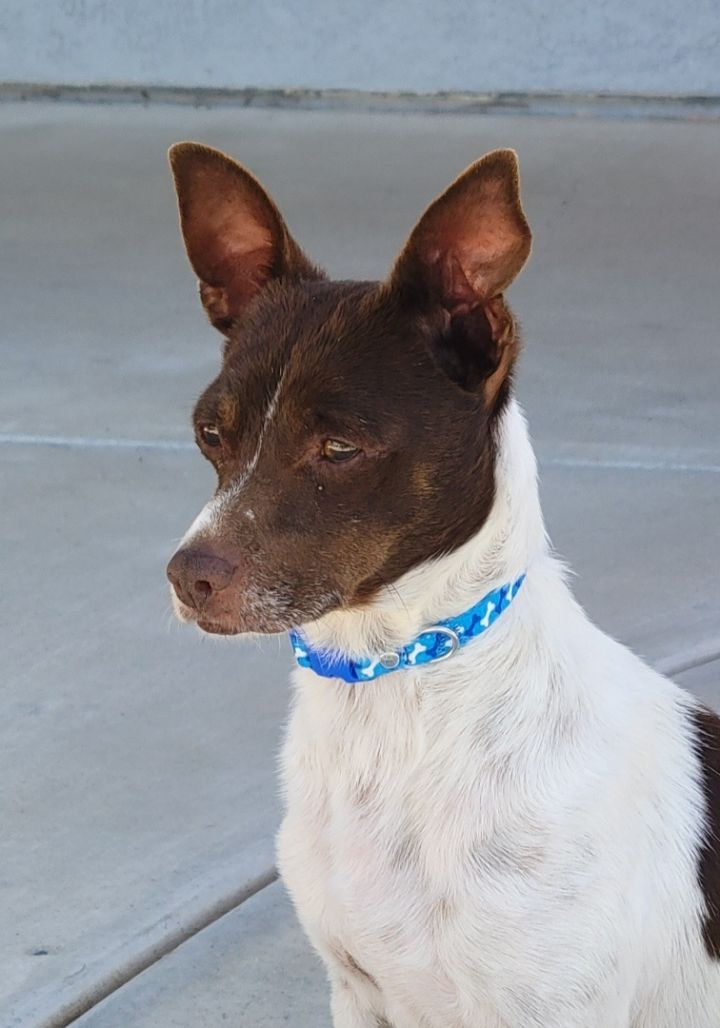 Rory, an adoptable Miniature Pinscher & Terrier Mix in San Diego, CA