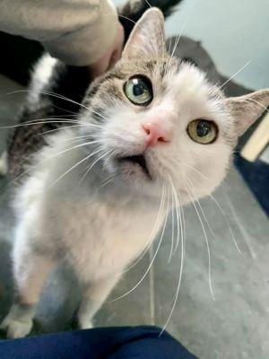 Whitney Domestic Short Hair Cat