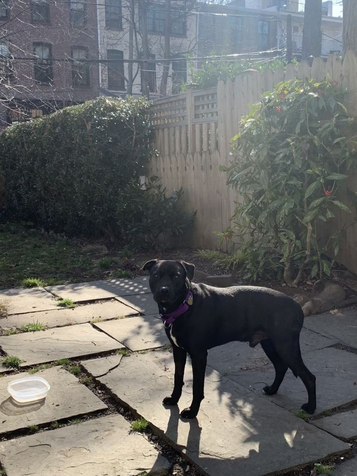 Blackie, an adopted Labrador Retriever Mix in Brooklyn, NY