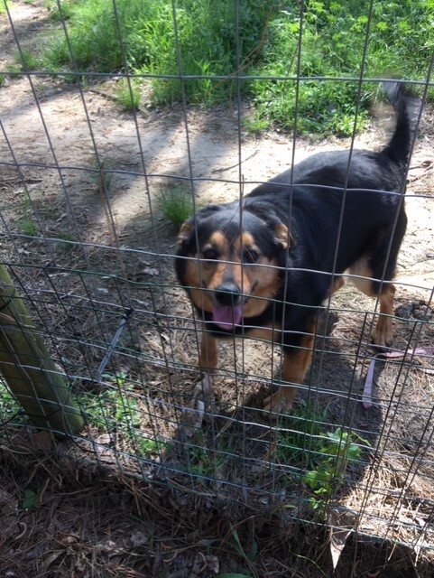 Priscilla, an adoptable Australian Shepherd & Labrador Retriever Mix in Unionville, CT
