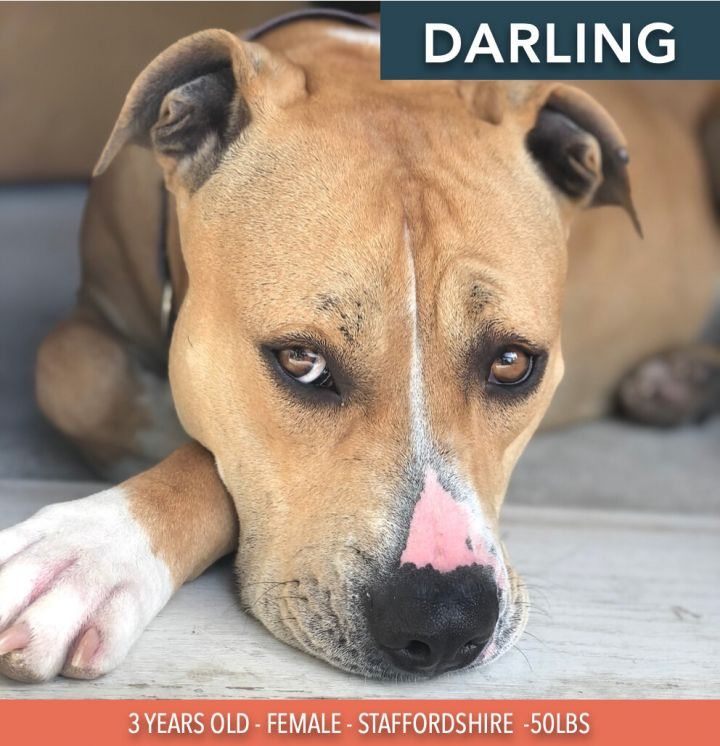 Darling, an adoptable Staffordshire Bull Terrier & American Bulldog Mix in Studio City, CA_image-1