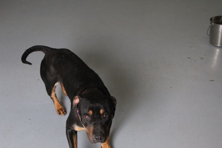 Harlow, an adoptable Rottweiler Mix in Colorado Springs, CO
