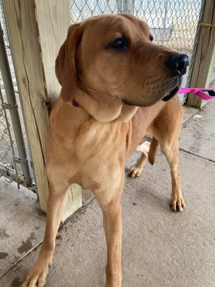 Clifford, an adopted Labrador Retriever & Hound Mix in Neillsville, WI