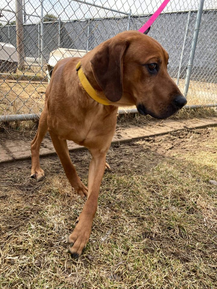 T-Bone, an adopted Hound & Catahoula Leopard Dog Mix in Neillsville, WI