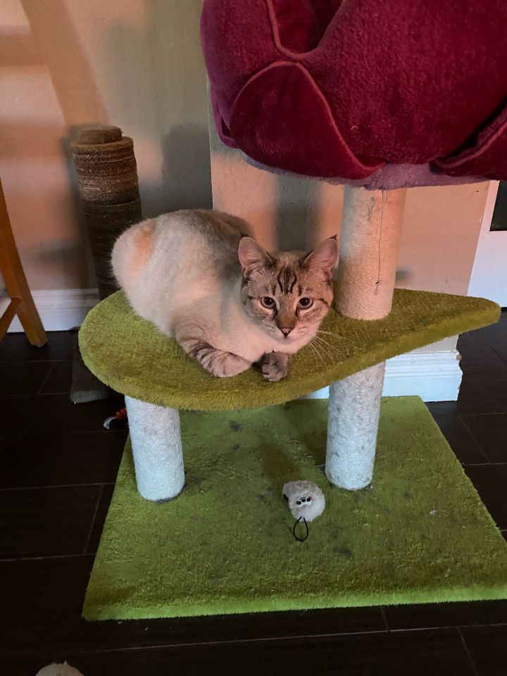 Saki, an adopted Siamese Mix in Mission Viejo, CA