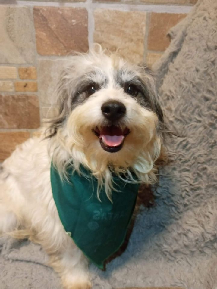 Sky, an adopted Coton de Tulear & Maltese Mix in San Diego, CA