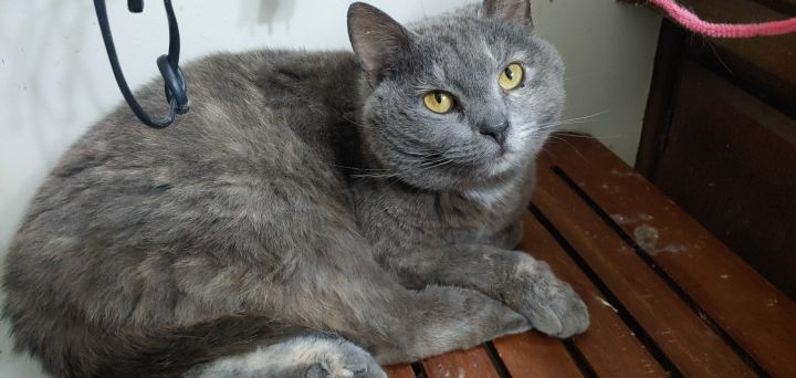 Roxie, an adopted Domestic Short Hair in Louisville, KY_image-1