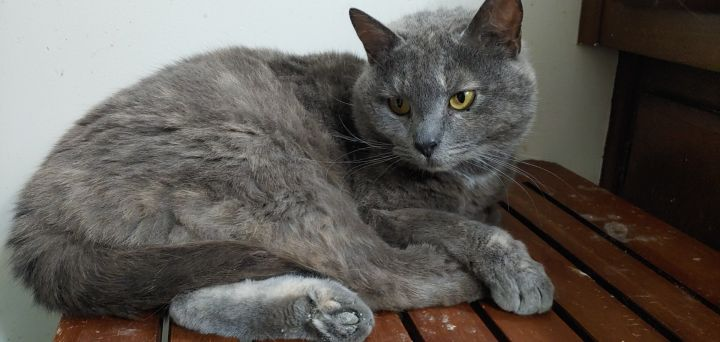 Roxie, an adopted Domestic Short Hair in Louisville, KY_image-2