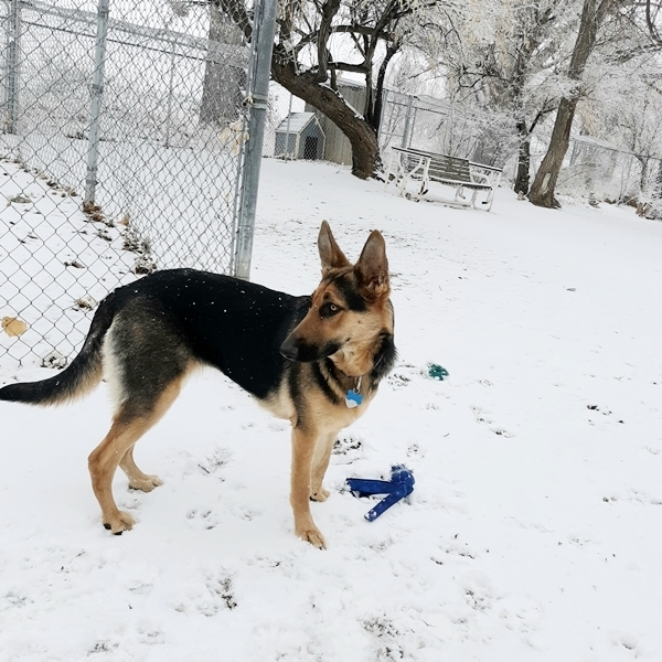 Paisley, an adoptable German Shepherd Dog in Denver, CO_image-3