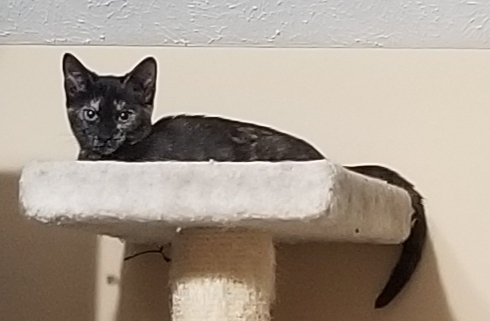 Kendra, an adopted Domestic Short Hair & Tortoiseshell Mix in Hendersonville, TN