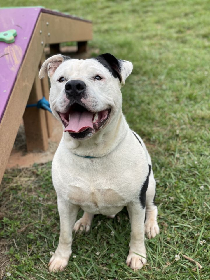 Axel, an adoptable Boxer & Pit Bull Terrier Mix in Conover, NC