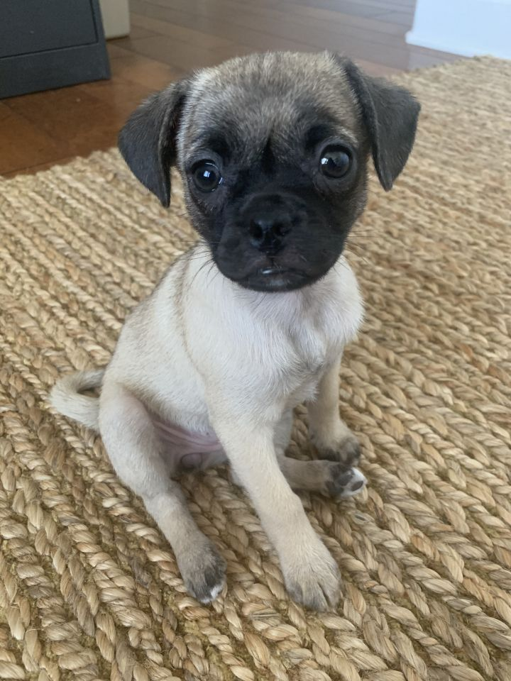 Glacier, an adopted Chihuahua & Pug Mix in San Diego, CA_image-2