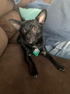 Biggie, an adopted Chihuahua Mix in Kentwood, MI