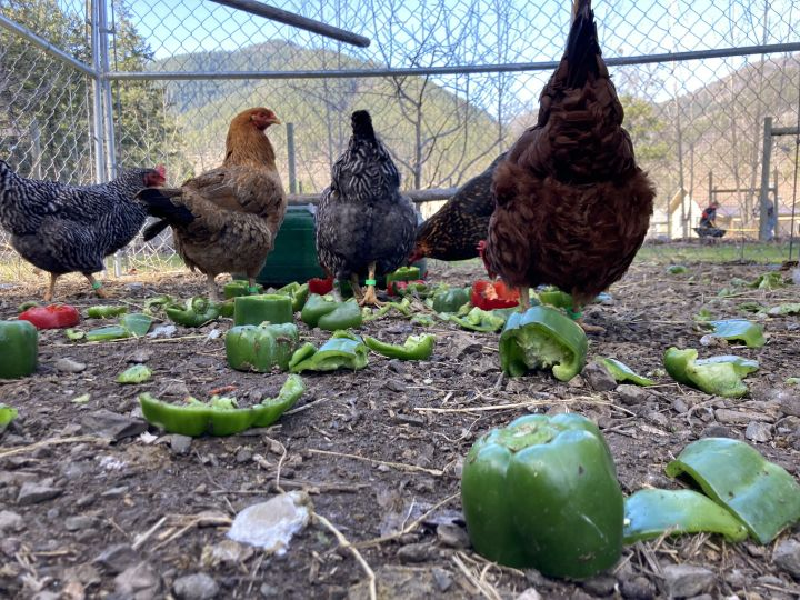 Lovely Hens, an adoptable Chicken in Jacksonville, OR_image-3