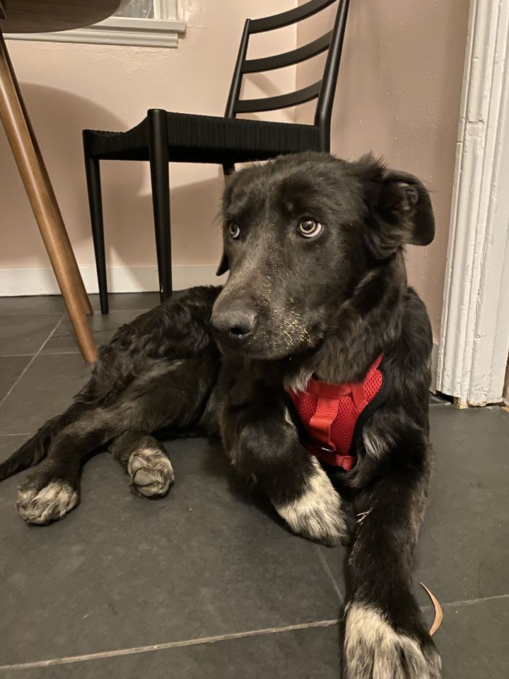 Lily, an adoptable Border Collie & Labrador Retriever Mix in Studio City, CA