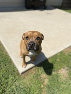 Dobby is a 7 year old pocket pit  he weighs about 45lbs Up to date on all vacc