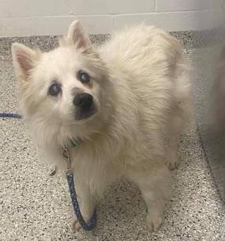 Hamilton-Adopted!, an adopted American Eskimo Dog in Saint Louis, MO_image-2