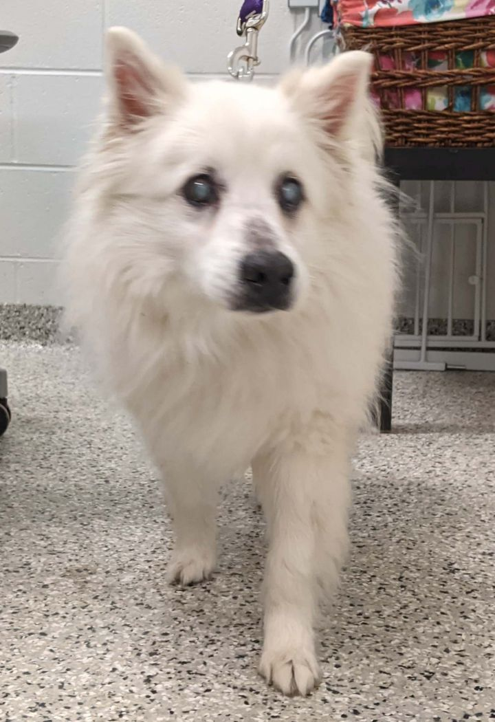 Hamilton-Adopted!, an adopted American Eskimo Dog in Saint Louis, MO_image-3