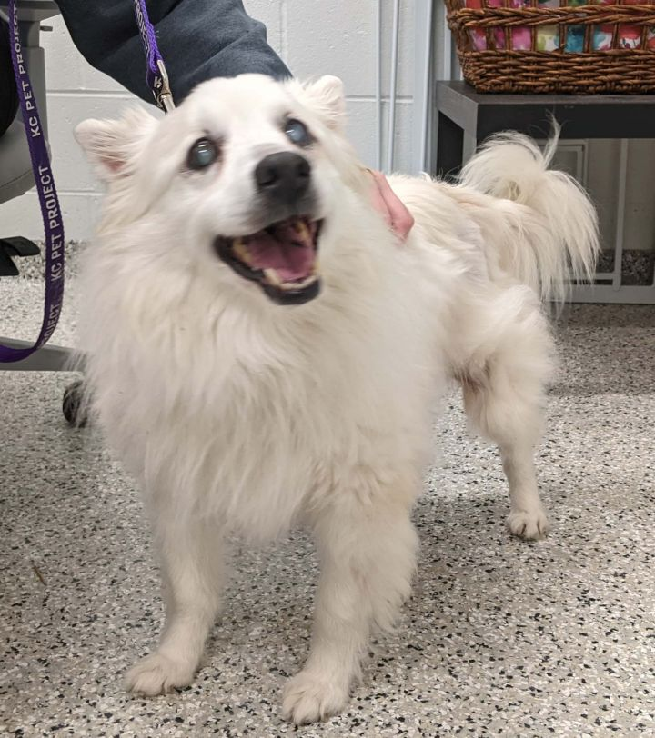 Hamilton-Adopted!, an adopted American Eskimo Dog in Saint Louis, MO_image-1