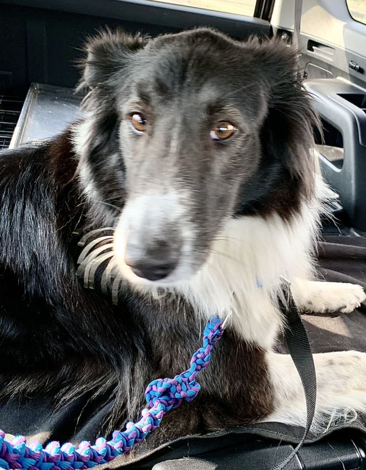 Pepper, an adopted Border Collie & Australian Shepherd Mix in Omaha, NE_image-3