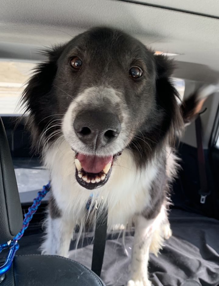 Pepper, an adopted Border Collie & Australian Shepherd Mix in Omaha, NE_image-1