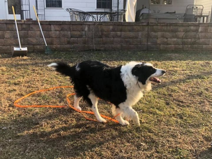 Roc, an adoptable Border Collie in Chestertown, MD