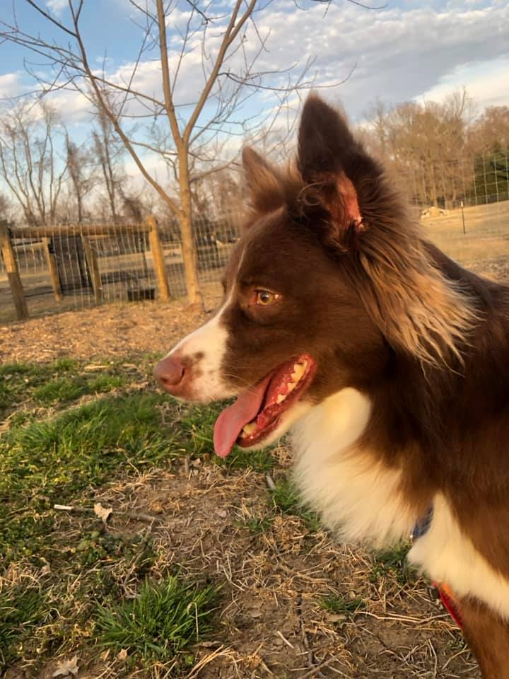 Kip, an adoptable Border Collie Mix in Chestertown, MD