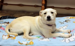Meet Roxie a sweet and lovable 1-year old 35 lb lab mix She wants lots of attention love and all