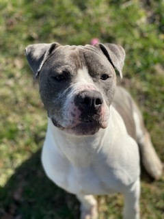 Caine, an adoptable Pit Bull Terrier Mix in Lincoln Park, NJ_image-1